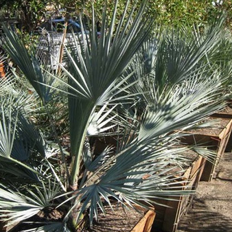 Palms And Specialities