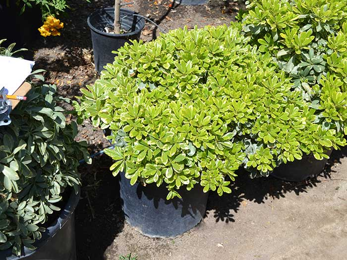 Pittosporum-t._cream-de-mint