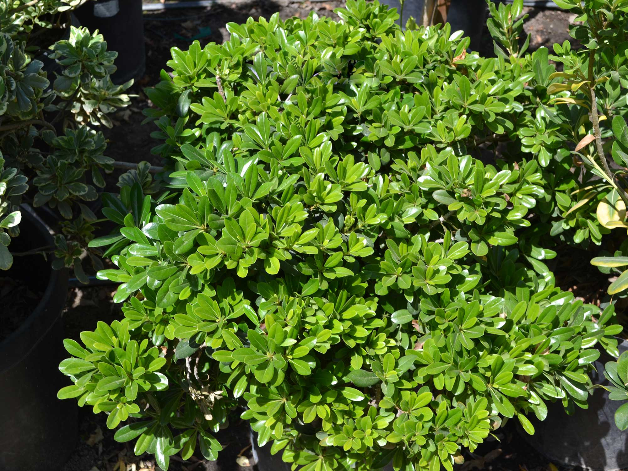 Pittosporum-t._wheeler_s-dwarf