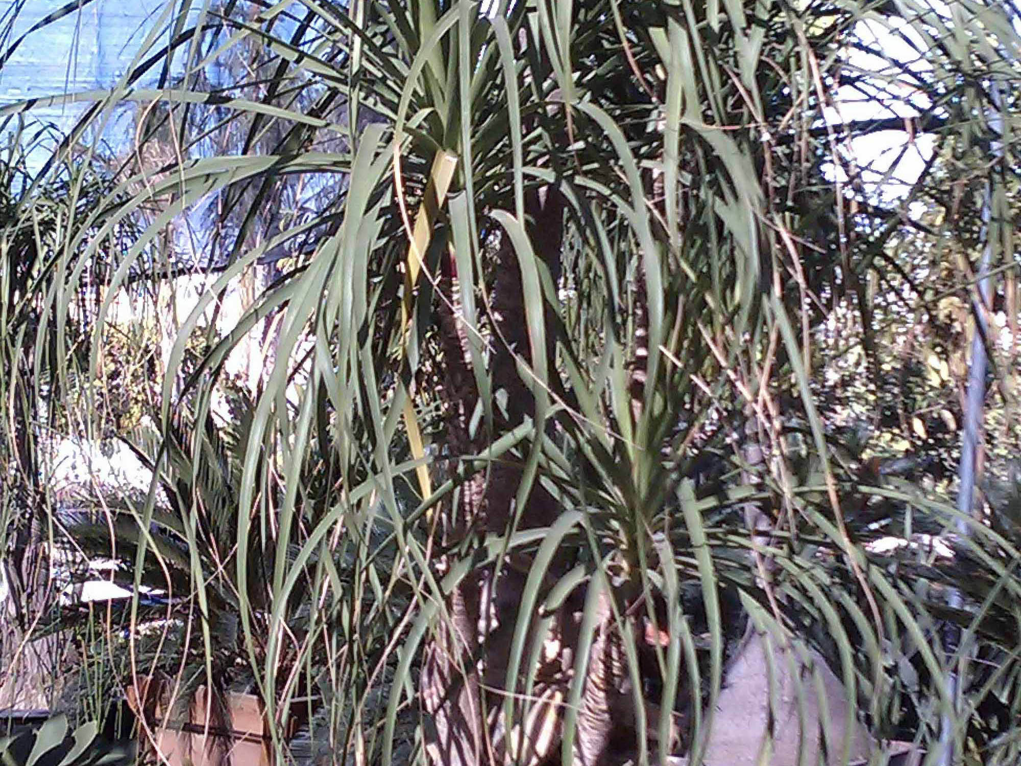 Beaucarnia recurvata (Ponytail palm or Bottle palm)