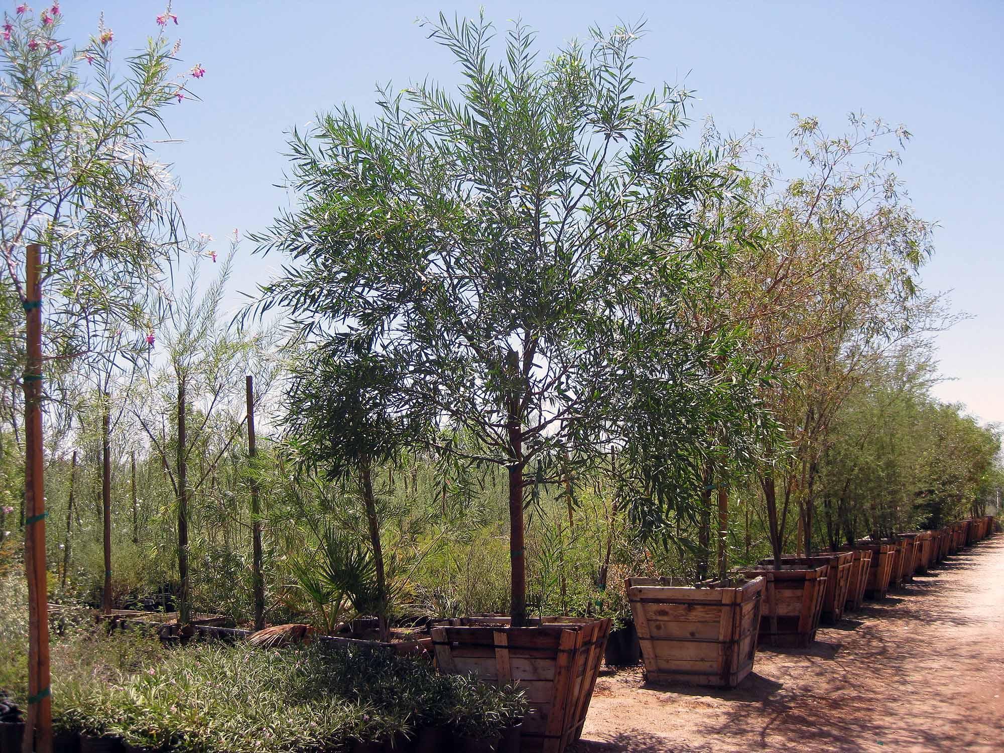 Indio Ca Plant Nursery Garden Center Palm Trees For Sale